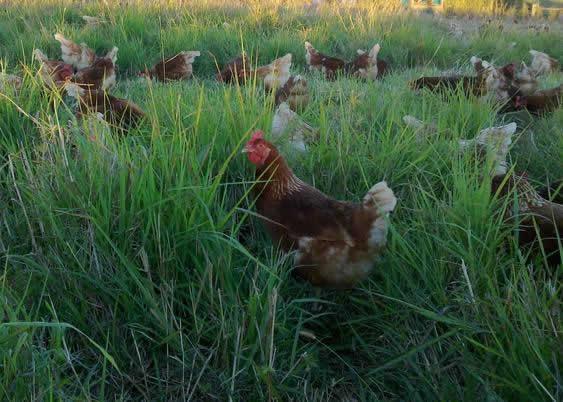 happy-healthy-hens